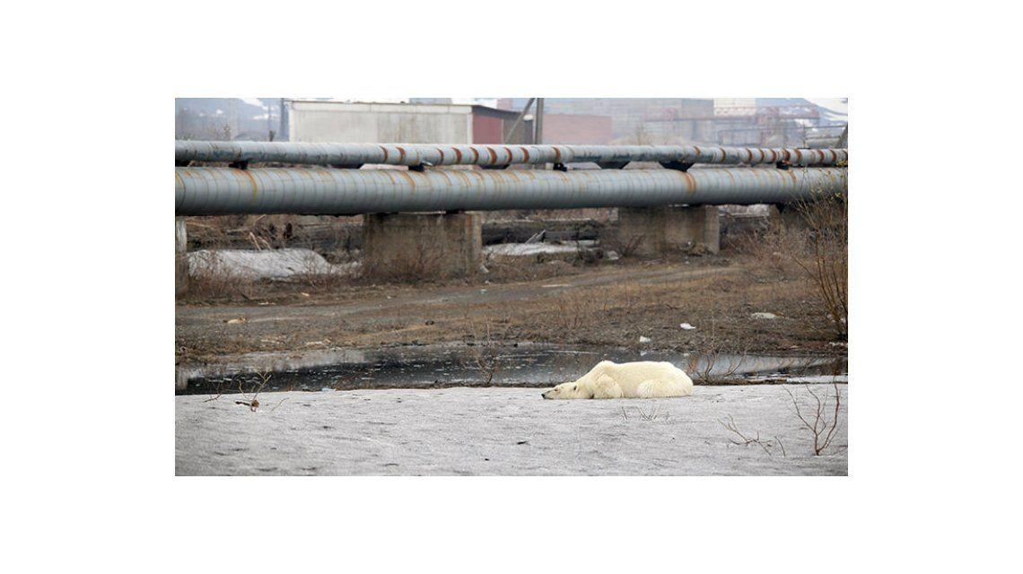 Conmoción en una ciudad rusa por la aparición de un oso polar exhausto y hambreado