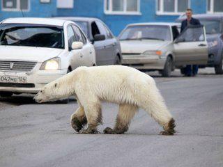 conmocion en una ciudad rusa por la aparicion de un oso polar exhausto y hambreado