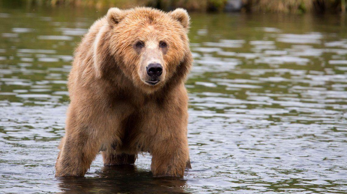 Un oso lo atacó y lo guardó durante casi un mes para comérselo más tarde