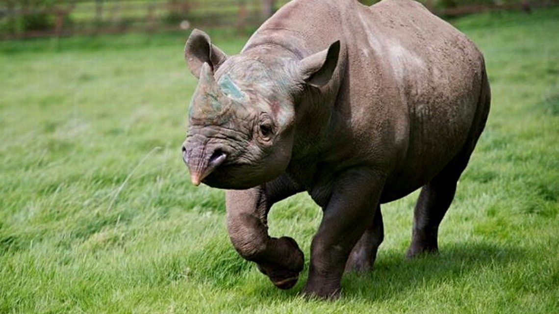 Drama: murió un rinoceronte negro cuando estaba por recuperar su libertad