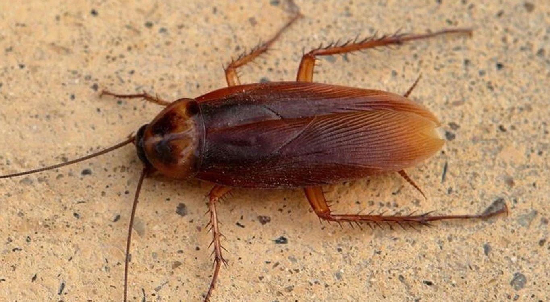 La pesadilla de todos: las cucarachas cada vez son más resistentes a los insecticidas