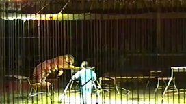 Un domador de tigres murió tras ser atacado por cuatro de sus felinos