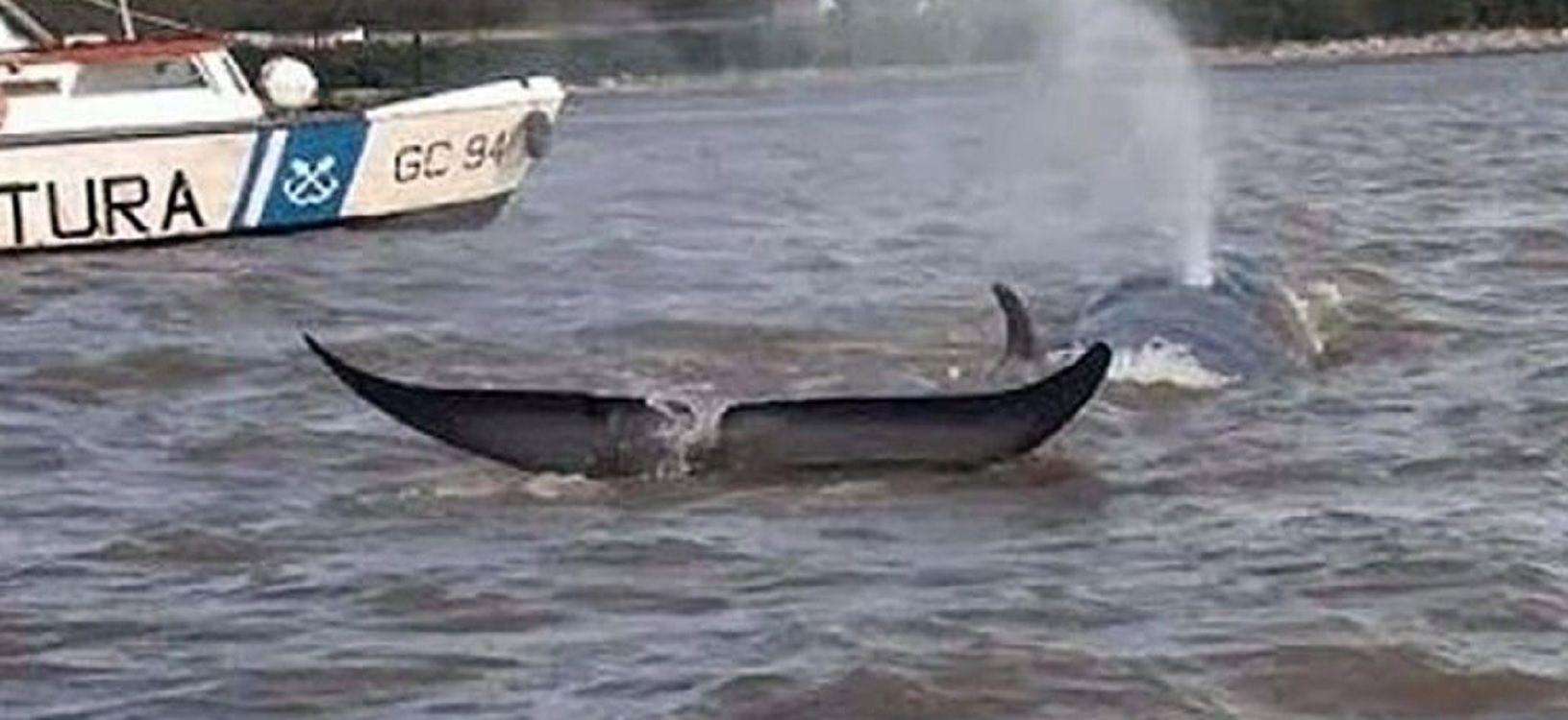 Apareció una ballena en el Río Paraná y murió encallada