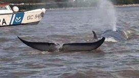 Apareció una ballena en el Río Paraná