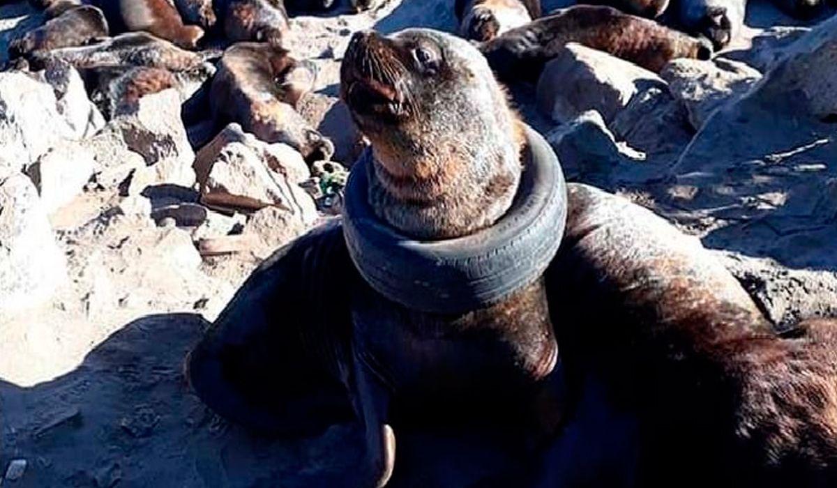 Indignación en Mar del Plata por un lobo marino con un neumático alrededor del cuello