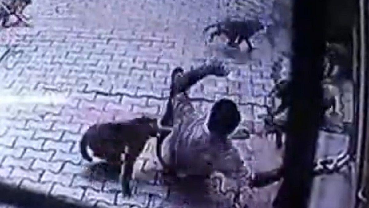 VIDEO: Un hombre fue víctima del brutal ataque de un grupo de monos