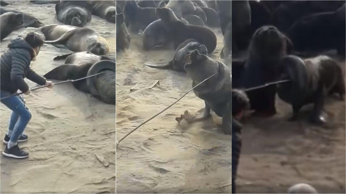 VIDEO: Liberaron al lobo marino con el neumático alrededor del cuello