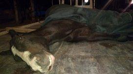 Denuncian que obligaron a un caballo a correr quebrado y lo ejecutaron de un tiro