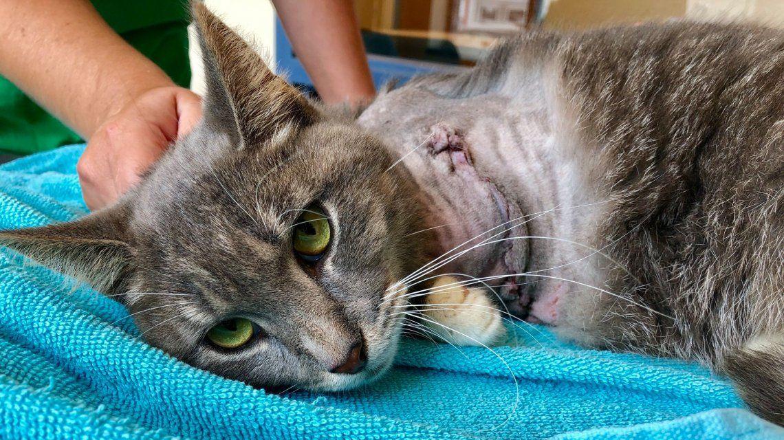 El felino se recupera tras la intervención