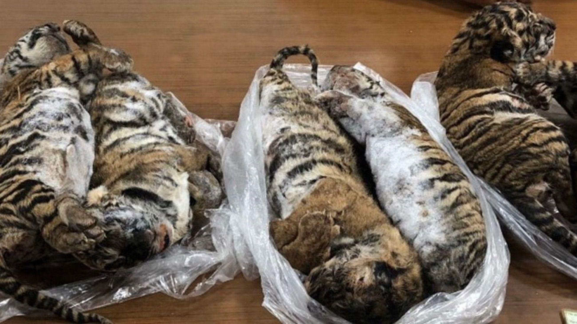 Detuvieron a un hombre  que viajaba con siete tigres congelados en el baúl