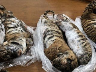 detuvieron a un hombre  que viajaba con siete tigres congelados en el baul