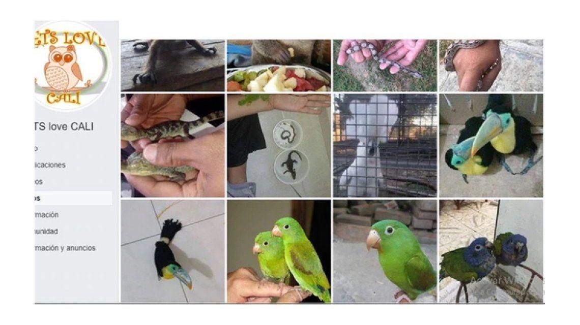La banda delicuencial comercializaba los animales silvestres pro Facebook.