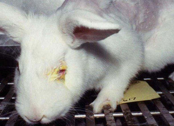 Los animales usados para experimentación están encerrados y son torturados. Foto: Peta.