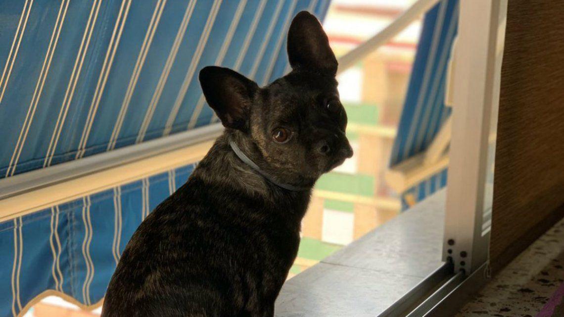 Un bulldog francés que no sufrirá los problemas respiratorios de sus antepasados