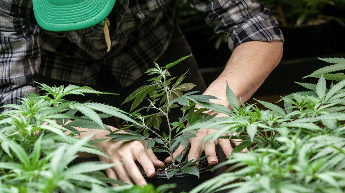 descubren-que-el-consumo-cannabis-a-largo-plazo-mejora-la-función-cardíaca