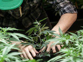 descubren que el consumo cannabis a largo plazo mejora la funcion cardiaca