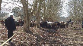 Más de 400 caballos fueron rescatados desnutridos de un campo de Ezeiza: 25 habían muerto