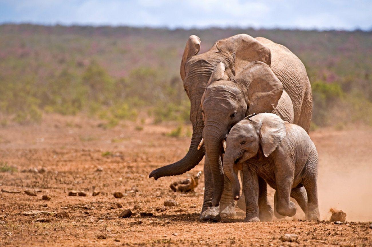 Batalla ganada: prohíben la captura de elefantes de África para ser exportados a zoos del mundo
