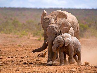 batalla ganada: prohiben la captura de elefantes de africa para ser exportados a zoos del mundo