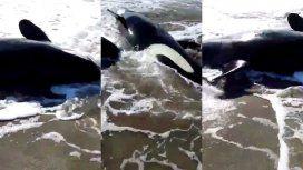Siete orcas quedaron varadas en Mar Chiquita e intentan salvarlas