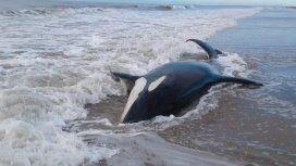 Salvaron a seis de las siete orcas varadas en Mar Chiquita