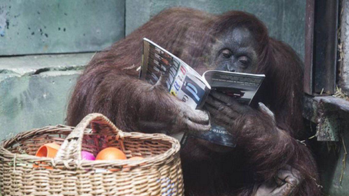 La orangutana Sandra será trasladada a un santuario de EEUU, pero hay preocupación por su vida