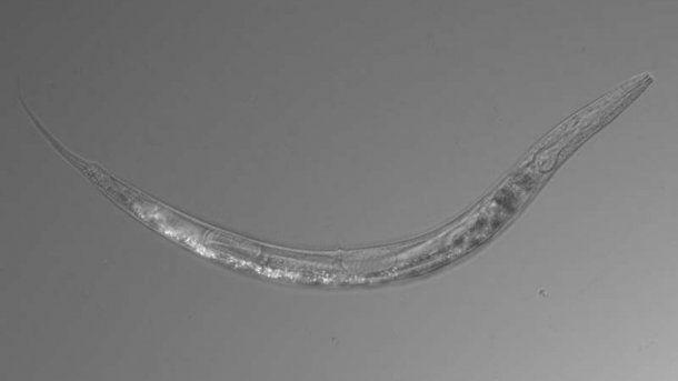 El gusano Auanema sp puede ser de sexo femenino, masculino o hermafrodita