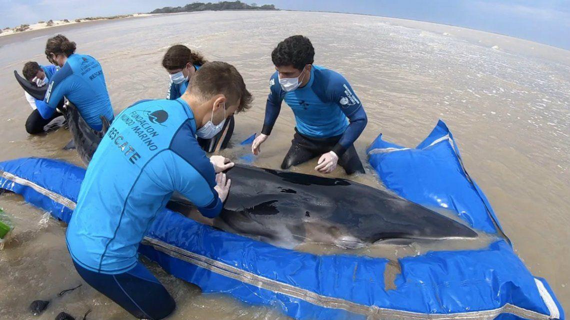 Rescataron a una ballena que había quedado varada en San Clemente del Tuyú