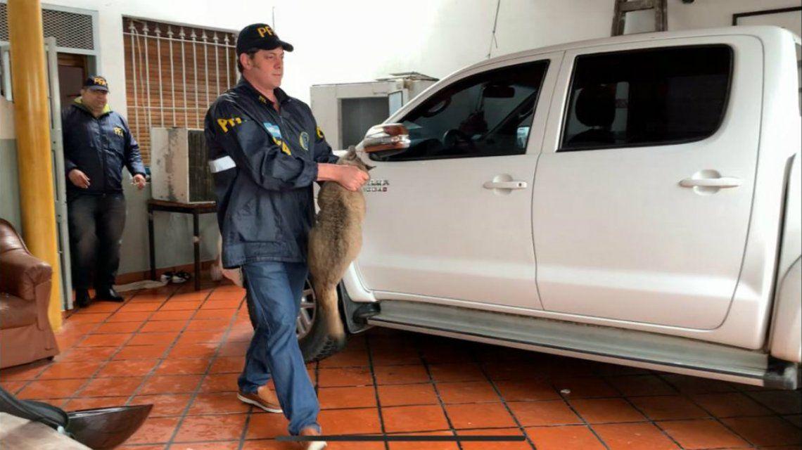 Rescataron a una cría de puma que vivía en una casa de Liniers