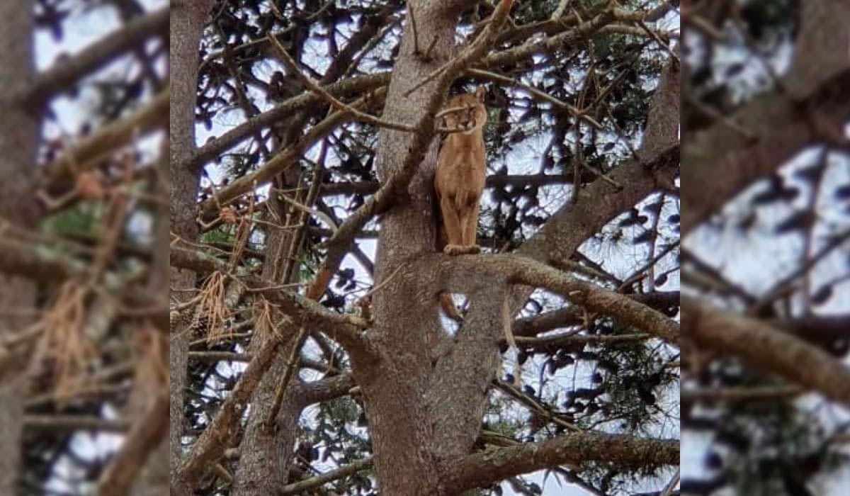 Un puma que se subió a un pino tiene en vilo a Pinamar