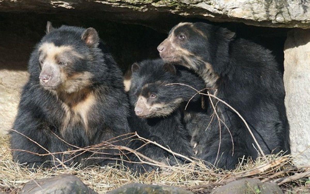 Tres osos del Ecoparque fueron trasladados a un santuario de Estados Unidos