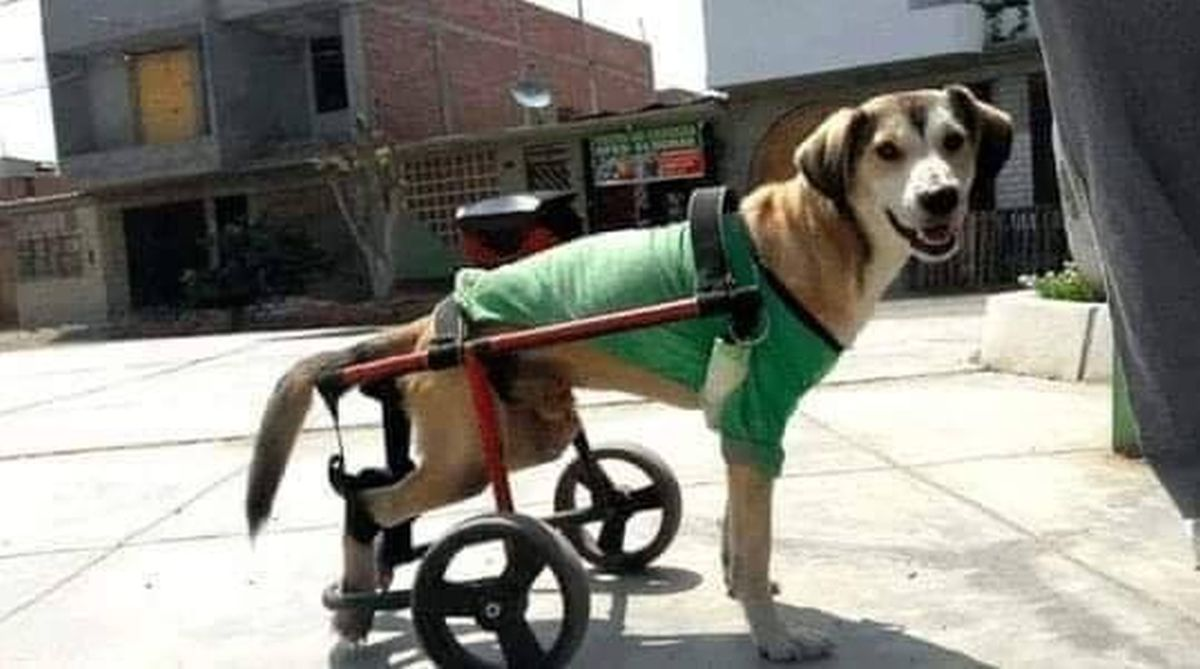 Le robaron la silla de ruedas un perro discapacitado: piden ayuda
