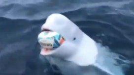 ¡Increíble! Una beluga jugó al rugby con un marinero en pleno océano