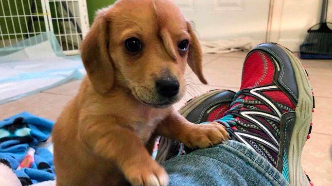 Estupor por el hallazgo de un perro que nació con una cola en la frente