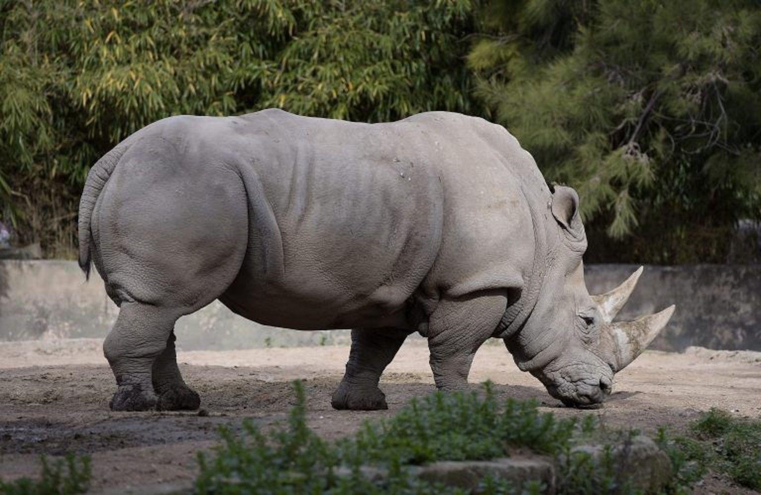Murió Gaspar, el último rinoceronte que quedaba en el Ecoparque porteño