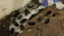 Por una invasión de ratas