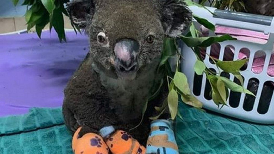 Cómo evoluciona el koala rescatado de los incendios de Australia: Está recibiendo un alivio contra el dolor