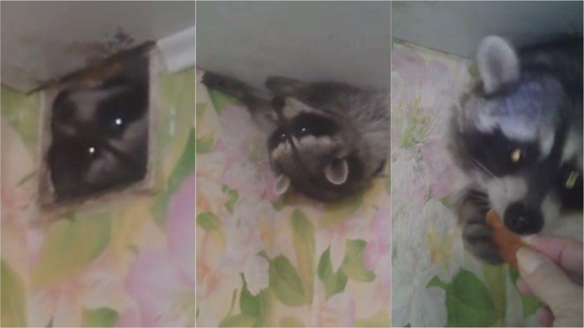 VIDEO: Un mapache gordito quedó atrapado en el conducto de ventilación de un departamento
