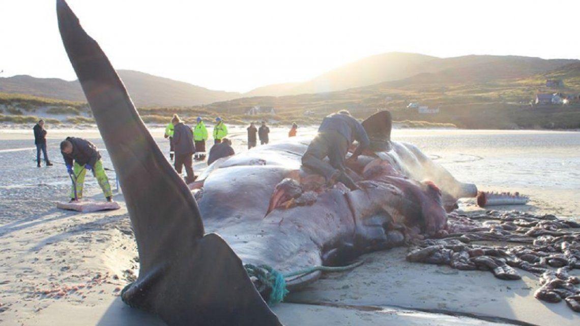 Encontraron una ballena muerta con 100 kilos de plástico en su estómago