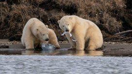 Tristeza por las imágenes de dos osos polares comiendo plástico por el hambre