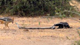 Feroz batalla entre una serpiente y un tejón con un final inesperado