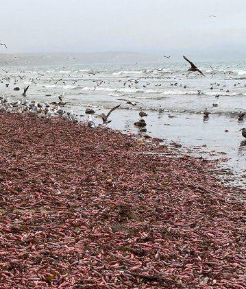Impresionante invasión de peces pene en las playas de California