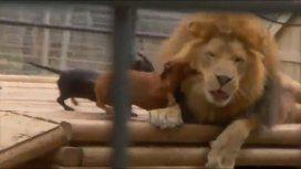 VIDEO: ¡Valientes! Dos perros salchicha atacaron ferozmente a un león