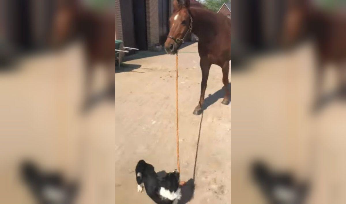 Un perro sacó a pasear a un caballo y los capturaron en un tierno video