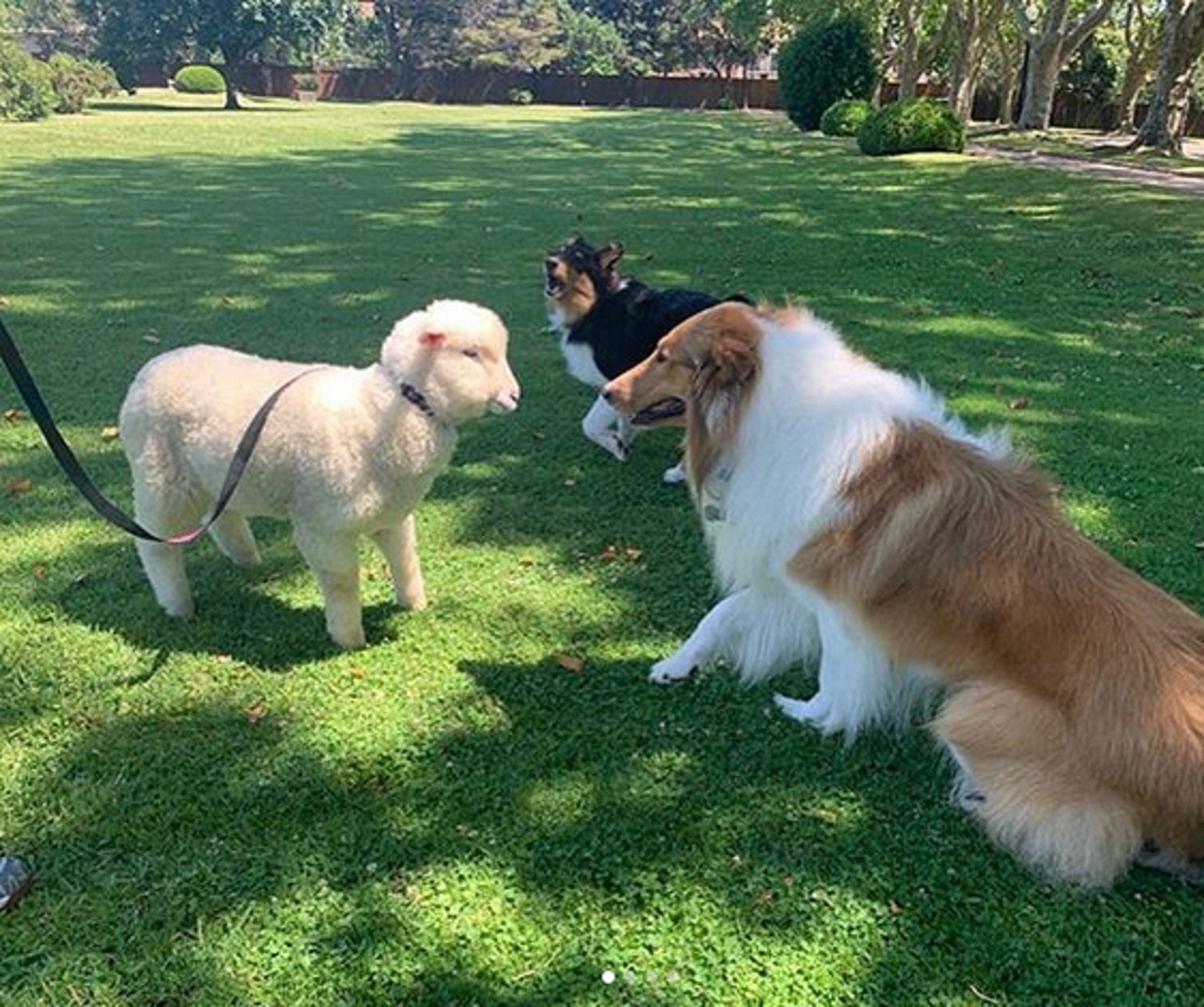 Dylan tiene compañía: Alberto Fernández sumó a la oveja Argentina como mascota presidencial
