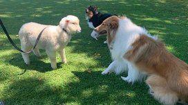 Dylan tiene compañía: Alberto sumó a una oveja como mascota presidencial