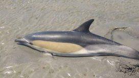 Río Negro: un nene salvó a un delfín que había encallado en Las Grutas
