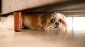 Una de cada cinco mascotas perdidas durante las Fiestas es por la pirotecnia