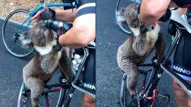 VIDEO: Un koala frenó a un ciclista y le tomó su agua en plena ola de calor en Australia
