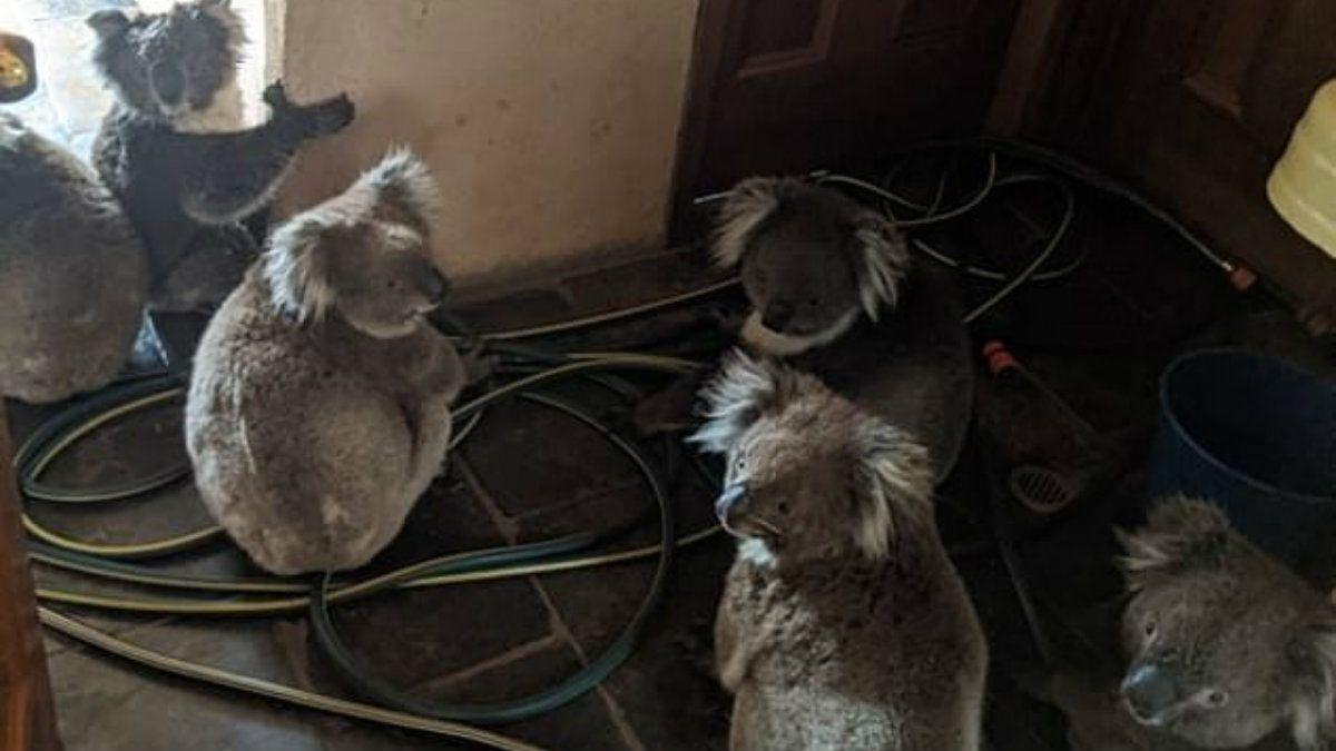 Una pareja rescató del fuego a seis koalas y los alojó en su casa: los encontraron abrazados por miedo